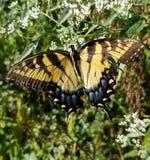 Borboleta amarela e preta - Tiger Swallowtail Papilio oriental fotografia de stock royalty free