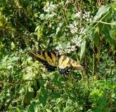 Borboleta amarela e preta - Tiger Swallowtail Papilio oriental fotografia de stock
