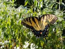 Borboleta amarela e preta - Tiger Swallowtail Papilio oriental foto de stock