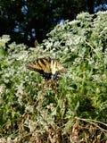 Borboleta amarela e preta - Tiger Swallowtail Papilio oriental fotos de stock royalty free