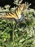 Borboleta amarela e preta - Tiger Swallowtail Papilio oriental imagens de stock royalty free