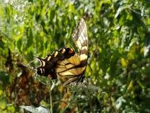 Borboleta amarela e preta - Tiger Swallowtail Papilio oriental fotos de stock