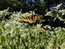 Borboleta amarela e preta - Tiger Swallowtail Papilio oriental imagem de stock royalty free