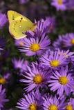 A borboleta amarela em flores Imagem de Stock Royalty Free