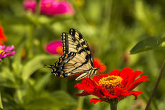 Borboleta amarela oriental de Swallowtail Fotografia de Stock Royalty Free