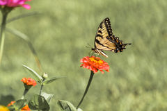 Borboleta amarela oriental 2 de Swallowtail Fotografia de Stock Royalty Free