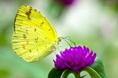Borboleta amarela pequena (eurema lisa) que alimenta no amaranto de globo Fotografia de Stock Royalty Free