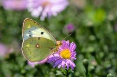 A borboleta amarela recolhe o néctar em um botão de Astra Verghinas Imagem de Stock Royalty Free
