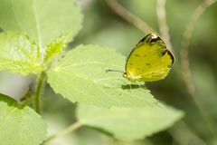 Borboleta, amarelo comum da grama - lsanka de Chilaw Sri fotografia de stock royalty free