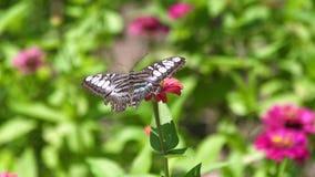 Borboleta ascendente próxima que recolhe as flores do néctar que florescem no jardim do verão Borboleta que poliniza a cama de fl filme