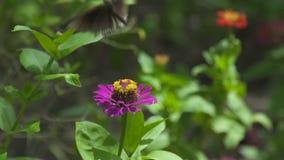 Borboleta ascendente próxima que recolhe o pólen em flores do verão no jardim de florescência Borboleta que poliniza flores na fl video estoque