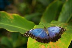 A borboleta azul Fotos de Stock Royalty Free