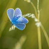 Borboleta azul Foto de Stock Royalty Free