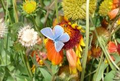 A borboleta azul bonita e o besouro verde que sentam-se em uma flor alaranjada e apreciam o sol em um dia de verão quente foto de stock