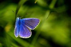 Borboleta azul comum imagens de stock