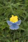 Borboleta azul comum, Polyommatus Ícaro, nectaring em um botão de ouro Foto de Stock Royalty Free