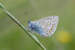 Borboleta azul comum sobre por muito tempo Imagens de Stock Royalty Free