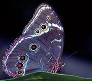 Borboleta azul de Morpho Imagem de Stock Royalty Free