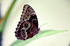 Borboleta azul de Morpho Fotografia de Stock
