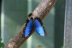 Borboleta azul de Morpho Imagens de Stock