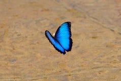 Borboleta azul de Morpho, Costa-Rica Fotos de Stock Royalty Free
