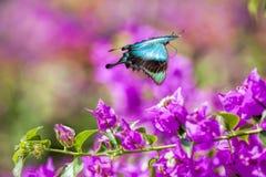 Borboleta azul de Swallowtail imagens de stock