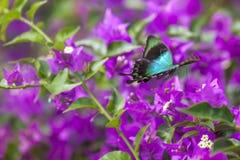 Borboleta azul de Swallowtail imagem de stock