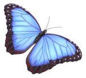 Borboleta azul do morpho Imagens de Stock Royalty Free