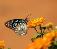 Borboleta azul do tigre Imagens de Stock Royalty Free