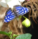 Borboleta azul e branca Foto de Stock Royalty Free