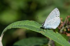 Borboleta azul enchida prata na folha verde Plebejus argus fotografia de stock