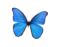 Borboleta azul isolada no branco Fotos de Stock Royalty Free