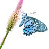 Borboleta azul na flor foto de stock