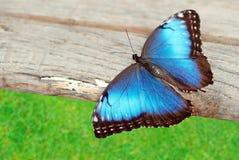 Borboleta azul na madeira fotografia de stock royalty free