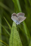 Borboleta azul pequena - minimus de Cupido Fotografia de Stock