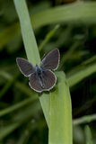 Borboleta azul pequena, minimus de Cupido, em uma lâmina de grama Fotos de Stock