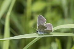 Borboleta azul pequena, minimus de Cupido, em uma lâmina de grama Imagens de Stock