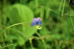 Borboleta azul rara na flor foto de stock royalty free