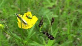 Borboleta azul selvagem Polyommatus e de nitidula de Anthaxia besouros na família Buprestidae nos botões de ouro amarelos da flor filme