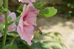 A borboleta bebe o néctar em uma malva cor-de-rosa da flor em um dia ensolarado fotos de stock