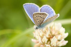 borboleta Bege-azul Fotografia de Stock