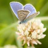 borboleta Bege-azul Imagem de Stock Royalty Free