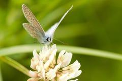 borboleta Bege-azul Fotos de Stock