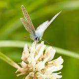 borboleta Bege-azul Fotos de Stock Royalty Free