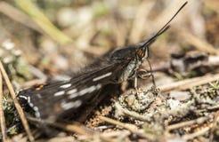 A borboleta bonita é um populi do Limenitis da fita do álamo cujo fotografia de stock