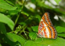 Borboleta bonita Foto de Stock Royalty Free