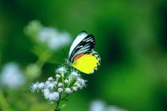 Borboleta bonita Fotografia de Stock