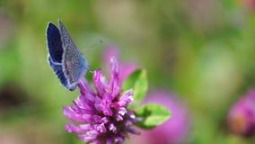 A borboleta bonita com asas azuis senta-se na flor do rosa do campo video estoque