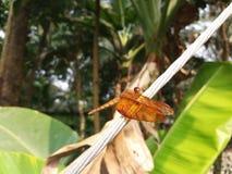 borboleta bonita de bangladesh Imagens de Stock Royalty Free