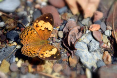 Borboleta bonita de Brown amarelo em uma rocha Fotografia de Stock Royalty Free